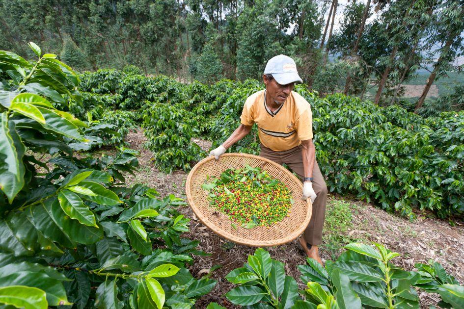 Kaffeepflücker auf der Fazendas Dutra. Er steht zwischen Kaffeepflanzen und hält einen Korb mit kaffeekirschen vor sich.