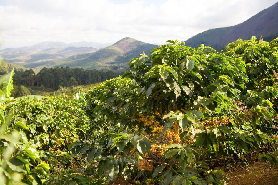 Gelbkirschige tragende Kaffeepflanze auf der Fazendas Dutra im Vordergrund. Im Hintergrund sind Bergkuppen zu erkennen.