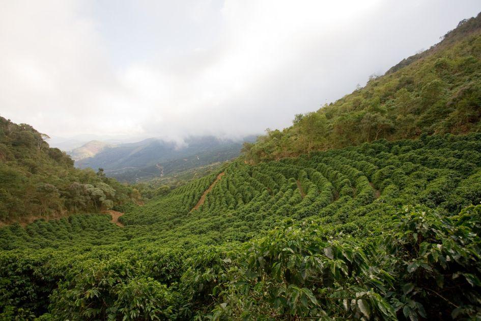 Grüne Kaffeefelder durchzogen von einem rötlich gefärbten Weg. Der Himmel ist Wolkenverhangen.