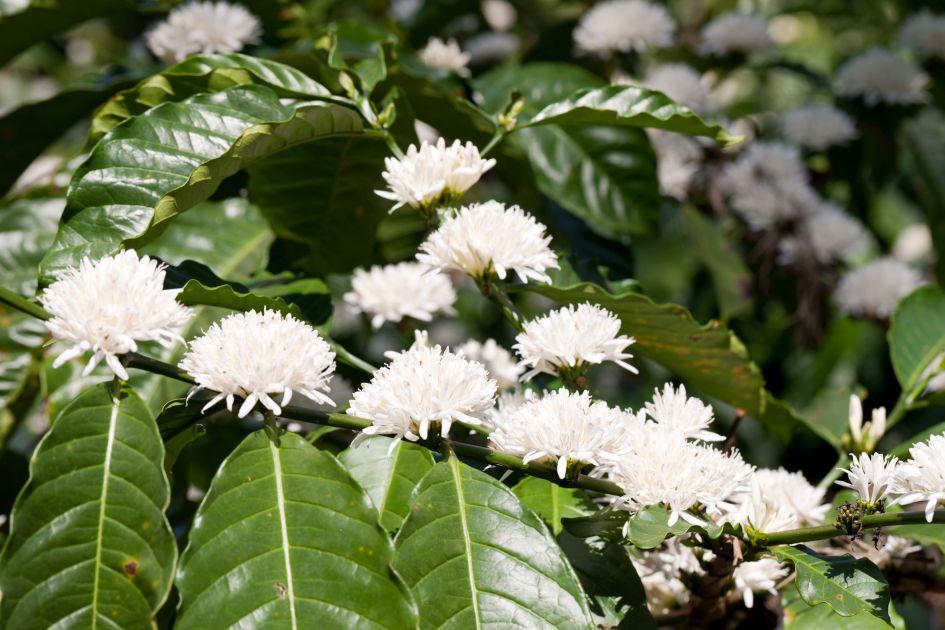 Blühende Canephora Kaffeepflanzen auf der Palthope Farm in Indien.